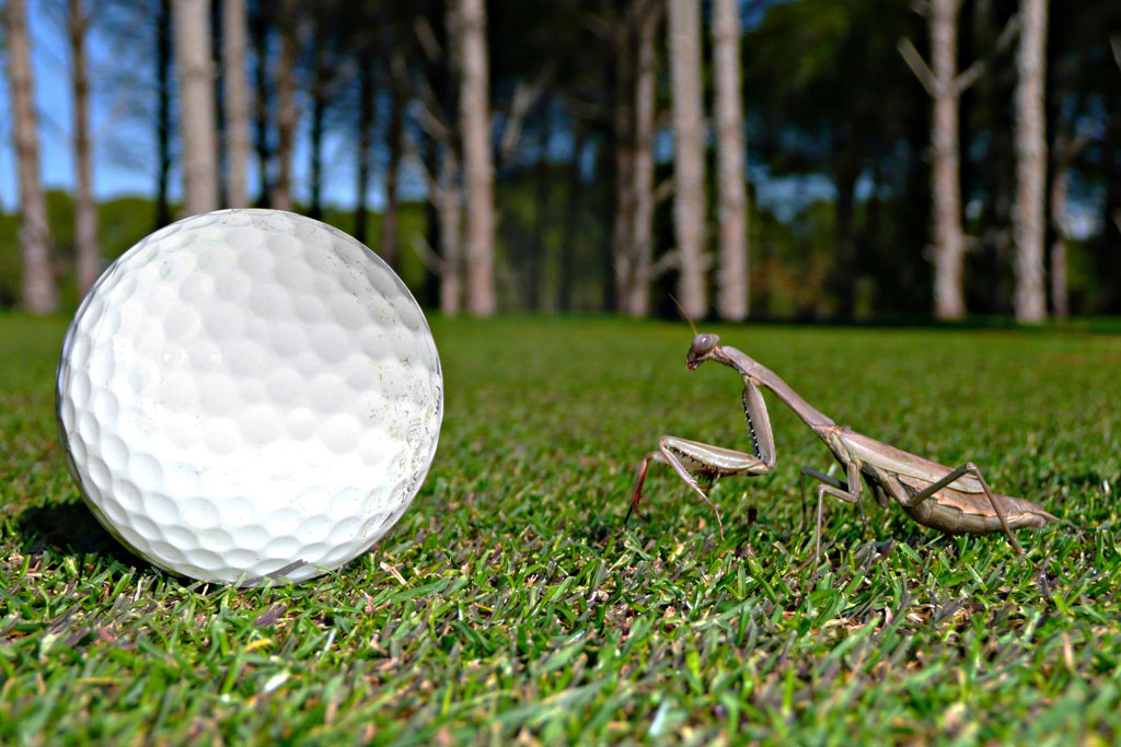 ott_golfball_gottesanbeterin